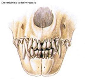 hond normaal gebit 11