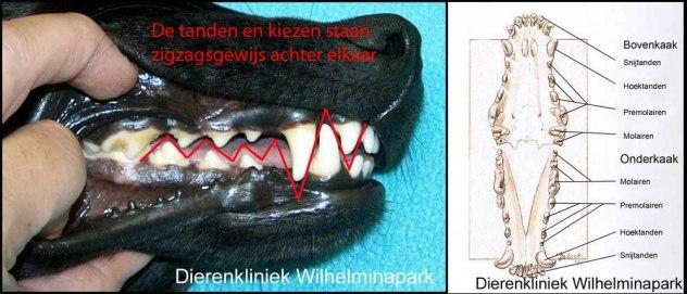 hond tandformule en scharend gebit